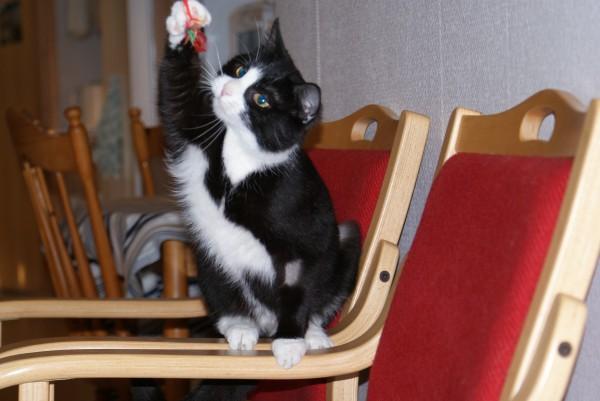 PÅ KATTEHUSET I BERGEN: Det finnes mange lekne krabater som setter pris på besøk på Kattehuset i Bergen. Her blir de tatt vare på av de frivillige til Dyrebeskyttelsen Bergen. (Foto: Elin B. Øvrebø)